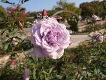 rose_201117_05