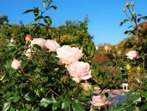 rose_201120_02