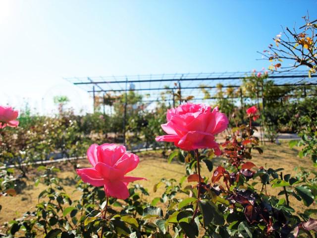 rose_201120_01