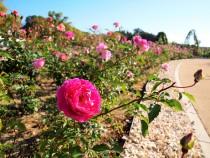 rose_201120_03