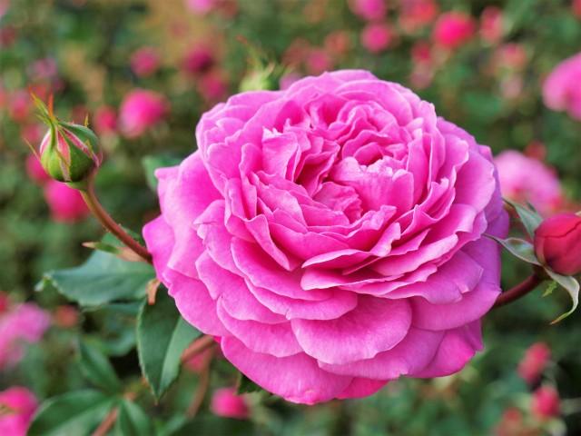rose_201124_01