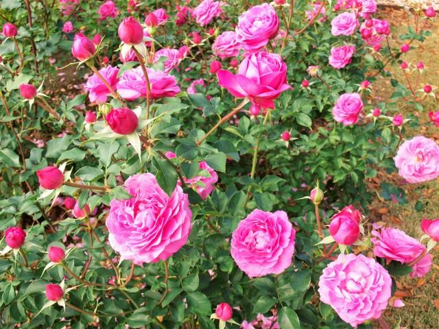 rose_201124_02