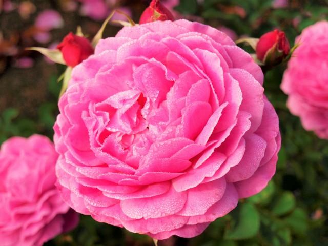 rose_201127_01