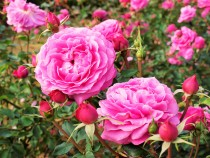rose_201127_02