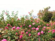 rose_201127_04