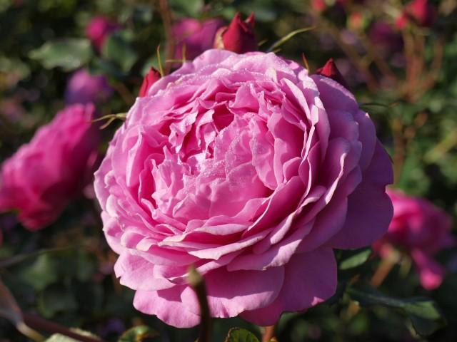 rose_201202_01