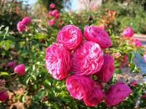 rose_201202_02
