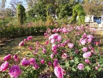 rose_201202_04