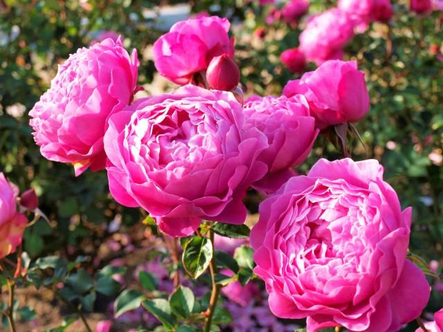rose_201211_01