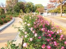 rose_201211_03