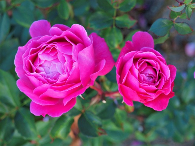 rose_201215_01