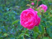 rose_201215_02