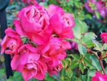 rose_201215_03