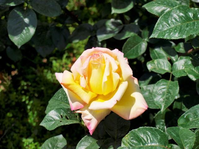 rose_210507_01