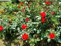 rose_210507_02