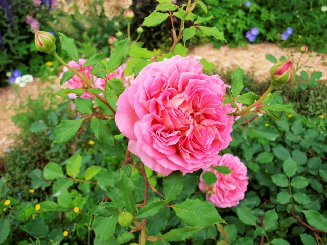 rose_210513_02