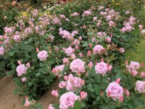 rose_210513_04