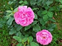 rose_210521_03