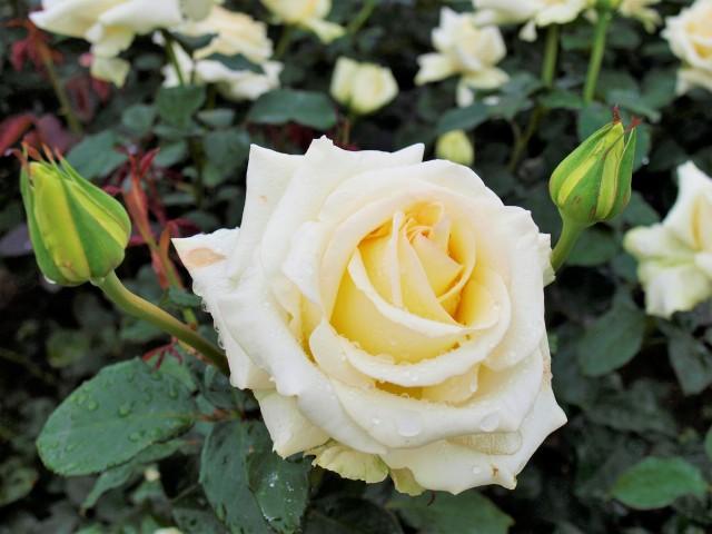 rose_210521_04