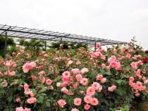 rose_210528_02