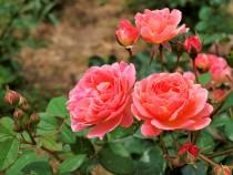 rose_210528_04