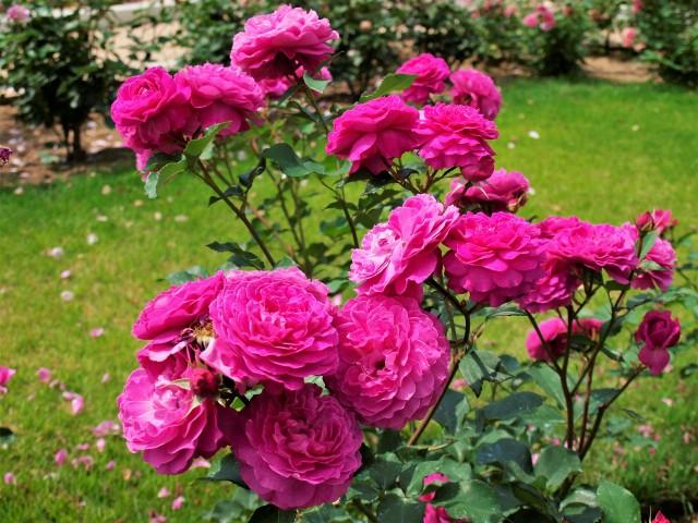 rose_210602_01
