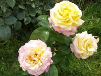 rose_210602_04