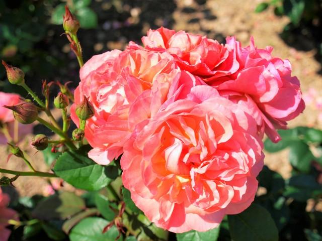 rose_210609_01