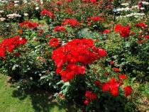 rose_210609_02