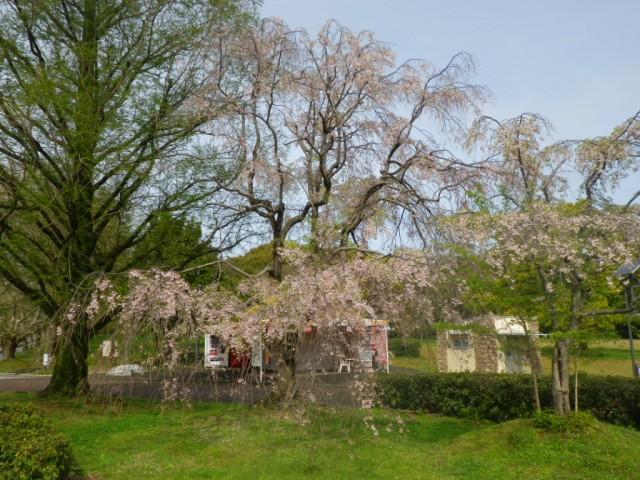 自然文化園東大路(ソメイヨシノ)