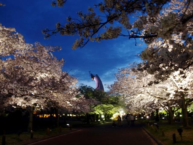 夜桜ライトアップ①