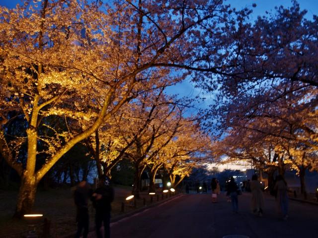 夜桜ライトアップ②