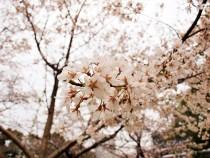 sakura_higan_2103026_01