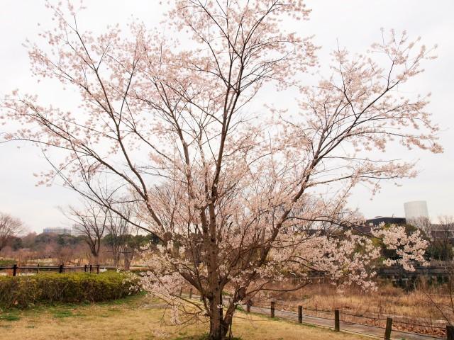 sakura_higan_210316_01