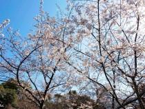 sakura_higan_210323_01