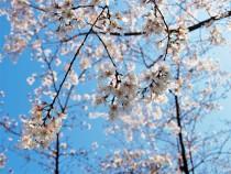sakura_higan_210323_02