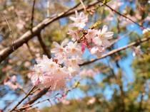 sakura_jugatsu_210319_01