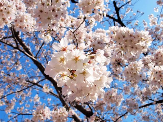 sakura_somei_210324_011