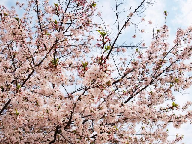 sakura_somei_210406_03