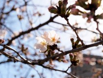 sakura_someiyoshino_210319_02