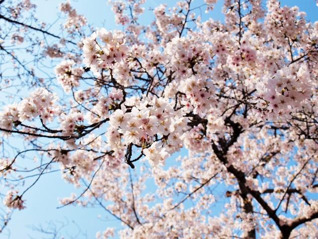 sakura_someiyoshino_210326_01