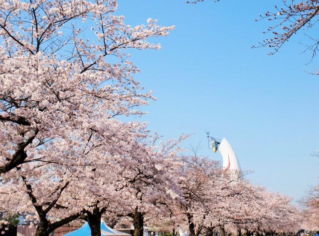 sakura_someiyoshino_210326_02