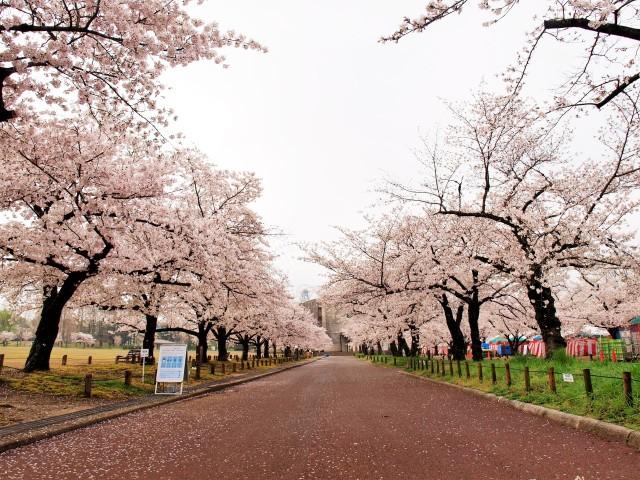 sakura_someiyoshino_210330_02