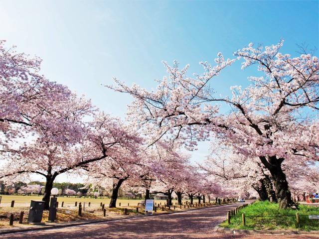 sakura_someiyoshino_210402_03