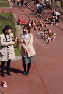 桜開花の様子