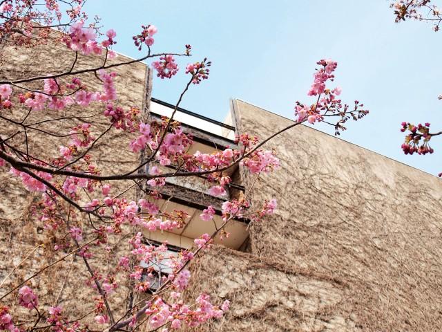 陽光桜(ようこうざくら)