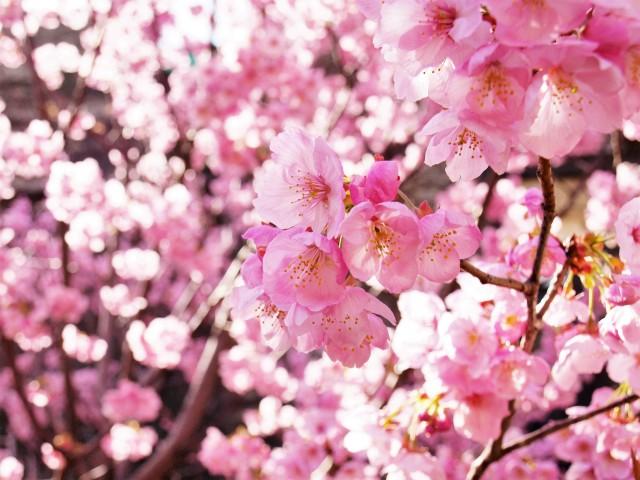 sakura_yoko_210319_01