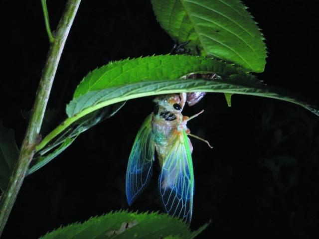 セミの羽化の観察会