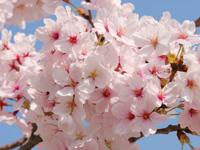 サクラ 見ごろのお花・植物情報
