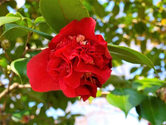南蛮紅(なんばんこう)